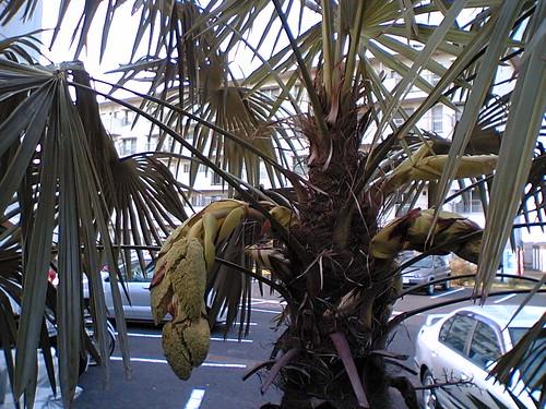 scrubbrush palm