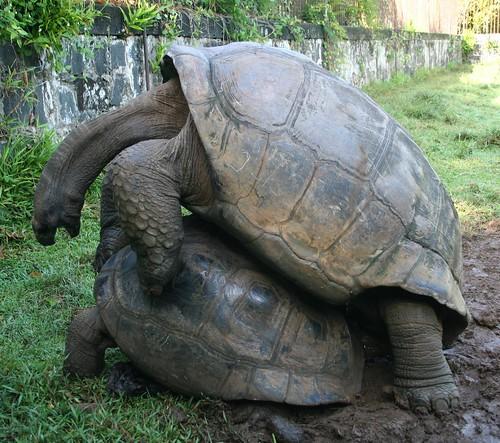 Shagging tortoise