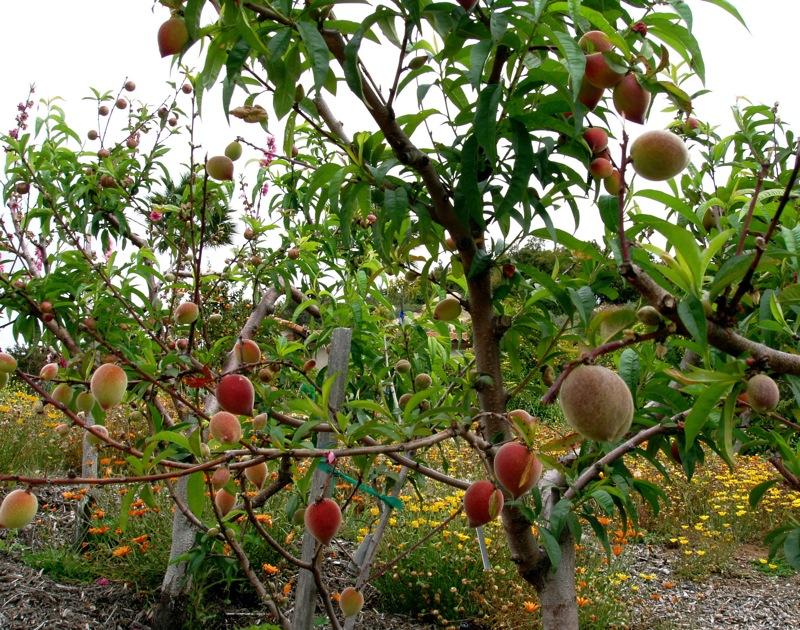 peaches_Apr06.JPG