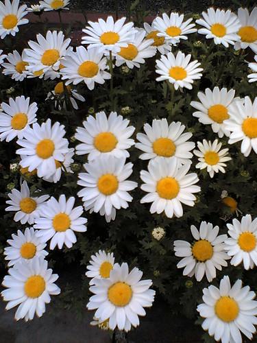 North Pole Chrysanthemum