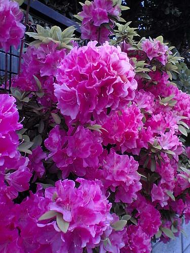 Pink renge tsutsuji