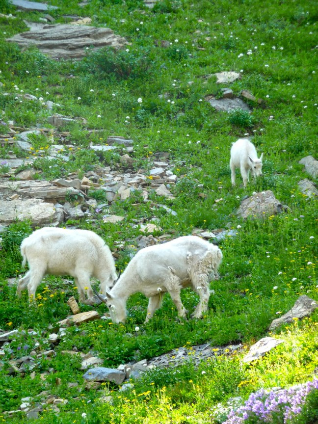 Mountain goats grazing in Glacier National Park