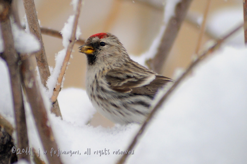 Redpoll (acanthis flammea) 3
