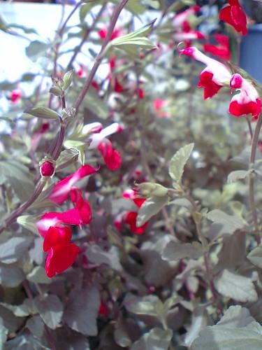Red  & White Sage