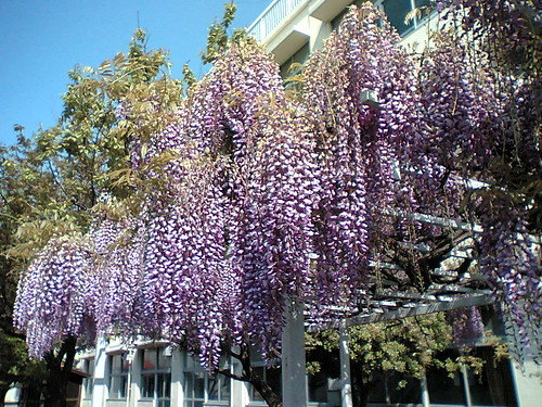 wisteria week
