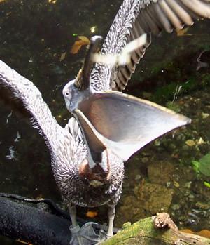 feeding the pelican