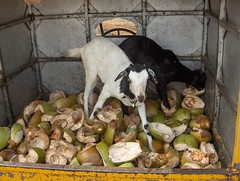 Goats in the cargo-rickshaw