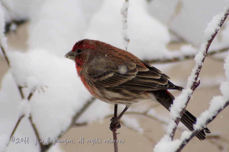 Redpoll (acanthis flammea) 4