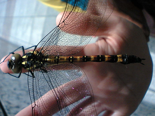 Dragonfly top view