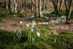 Borrowdale Snow Drops
