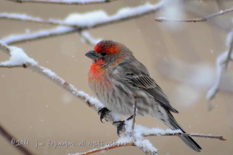 Redpoll (acanthis flammea) 1