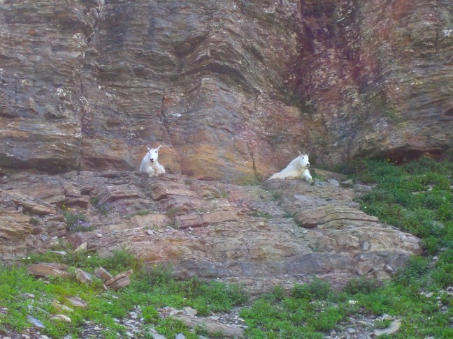 Mountain goats relaxing in Glacier National Park