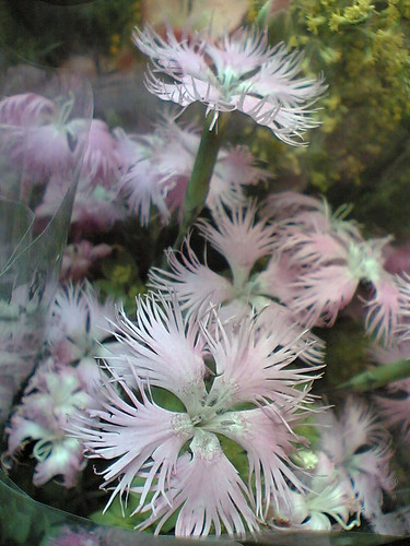 Lovely Dianthus