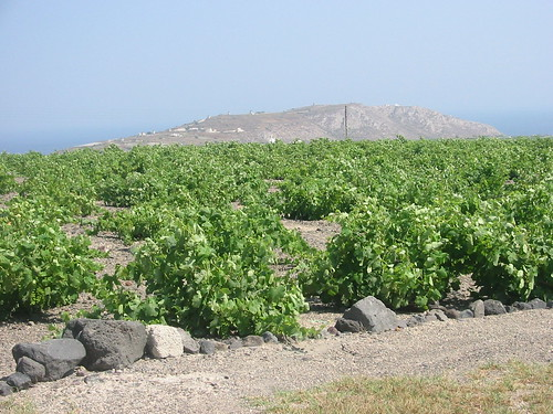 Grape vines protected from the Santorini elements