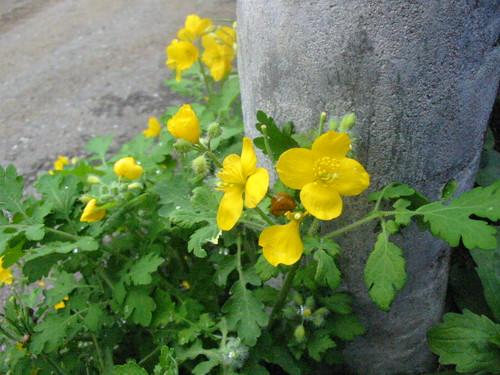 Yellow wildflower1