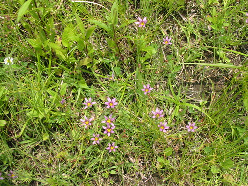Niwasekishou Wildflower in June