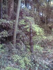 bambooshoot1