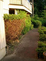 Prune back from walkway
