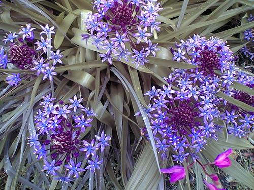 Allium / Hananegi
