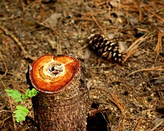 Stump and pine cone