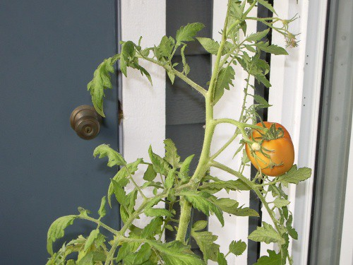 Tomato turning red