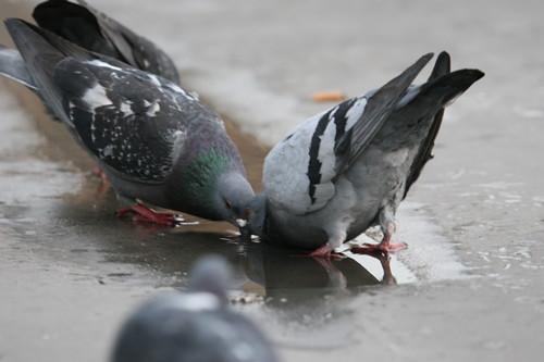 pigeon blog ropey pigeons