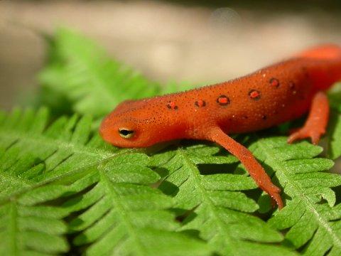 Foto de salamandra