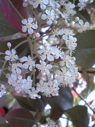 Photinia Serratofolia / Oo-kaname-mochi