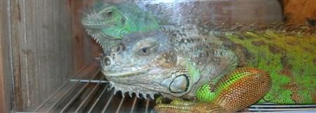 Iguanae
