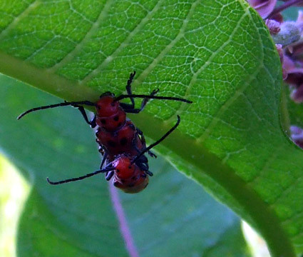 milkweed longhorns mating
