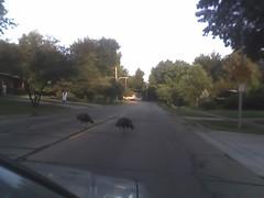 Turkeys in the street