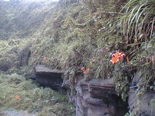 lilies growing wild