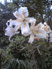 Golden rayed lilies