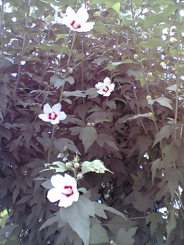 white mukuge