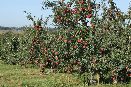 Yup, Apple Trees!