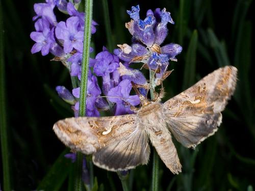 Nachtvlinder op lavendel