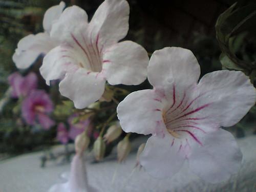 trumpet flower Campsis
