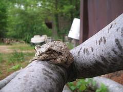 Tree Frog June 1 2006 008