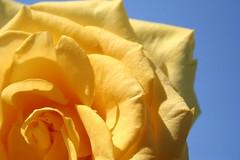 Yellow Roses, IV