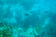 sargent fish 1