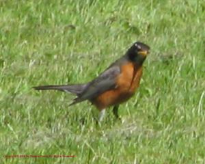 Robin Listening