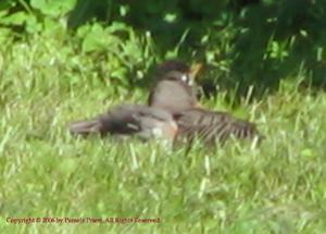 Robin Sunning Itself