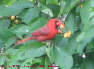Cardinal Eating Cherries