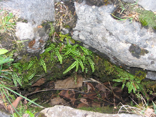 22May2005 038 Maidenhair_Spleenwort-Asplenium_trichomanes