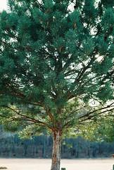 treepinecones