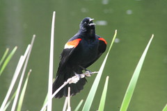 Red-Wing Blackbird, IV