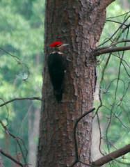 woodpecker10001