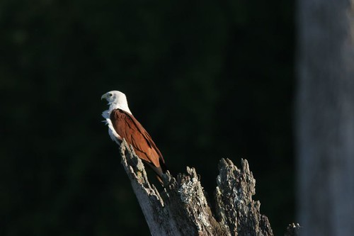 Brahminy Kite, Kabini, March 2006