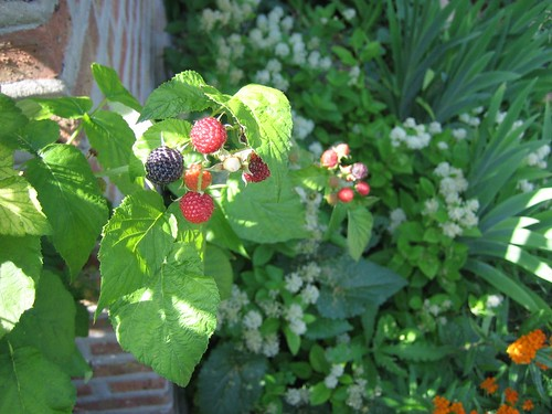 black raspberry cluster
