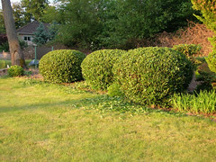 Rounded bushes